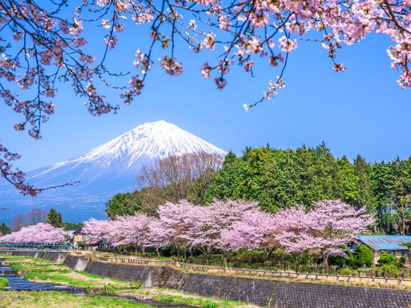 cheery blossom in Hakone