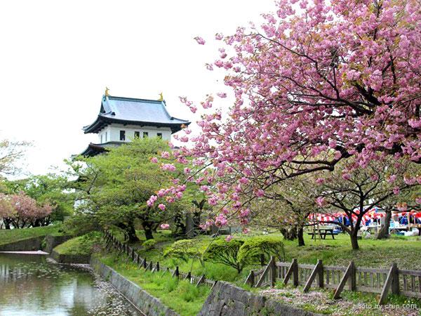 cherry blossom in Matsumae Castle