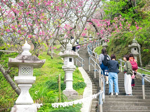 cherry blossoms in Nago Castle Site Park