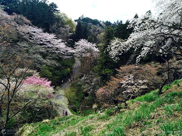 cherry blossom in Hachioji