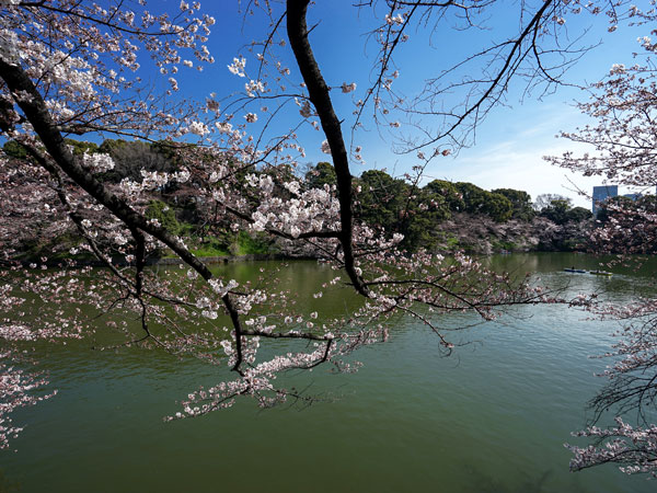 cherry blossom in Ueno Park and Kitajimaru Park