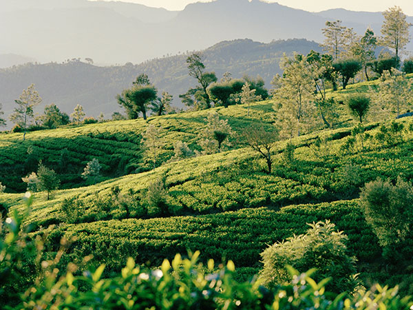 Nuwara Eliya Tea Garden